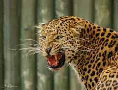 Male North Chinese Leopard (Ukfalc) Tags: northchineseleopard leopard pantherapardusjaponensis tairi whf cat bigcat mammal animal smile teeth thebigcatsanctuary wildlifeheritagefoundation headcorn smarden kent canon 7dii 70300l 2016