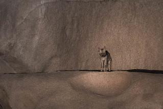 Striped Hyaena | Hyaena hyaena | लकड़बग्धा at ISO 20,000