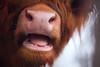 Aha. Nice that you talk to me. (Gudzwi) Tags: cattle close nah scottishhighlandrind sos 7dwf fauna animal tier rind nahaufnahme closeup macroorcloseup scottishhighlandcattle veryclose sehrnah smileonsaturday snout schnauze 7dwfsundaysfauna