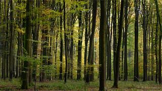 autumnal beech grove