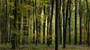 autumnal beech grove (klaus.huppertz) Tags: fürfeld beech grove autumn season forest wood wald buche buchenwald herbst baum tree natur nature outdoor nikon nikond750 d750 nikkor landschaft landscape fagus holz fall 2470mmf28g plants pflanzen botany botanik