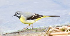 Grey Wagtail - Taken at Sywell Country Park, Sywell, Northamptonshire. UK (Ian J Hicks) Tags: