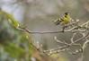 Monsieur Tarin (Eric Penet) Tags: tarin animal avesnois mars wildlife wild passereau bird oiseau jardin aulnes hiver france nord nature eurasian siskin mâle