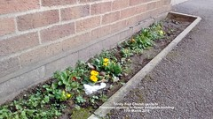 Trinity Free Church gardens - Primroses starting to flower alongside building 11th March 2018 (D@viD_2.011) Tags: trinity free church gardens primroses starting flower alongside building 11th march 2018