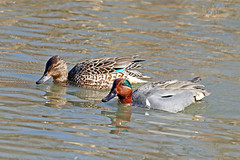 Green-winged Teal Couple 18-0310-6504 (digitalmarbles) Tags: greenwingedteal male drake female hen green greenwinged teal waterfowl anascrecca anseriformes pair couple sheen iridescent water ripples reflection reflecting distortion nature wildlife animal bird birder birdphoto photography birdphotography wildlifephotography reifel sanctuary reifelsanctuary deltabc bc lowermainland britishcolumbia canada canoneosrebelt7i canon