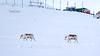 Svalbard Reindeer-7413 (MonoFoto UK) Tags: arcticcircle longyearbyen norway svalbard reindeer deer animals svalbardandjanmayen arctic snow