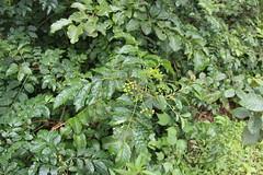 Cipadessa baccifera_Rajgad2 (Alka Khare) Tags: cipadessa meliaceae floraofmaharashtra
