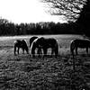 Horses (CloudBuster) Tags: nature natuur bos wouden forest friesland walk onderweg wandeling black white hiking zwart wit friese green groen