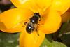 Hoverfly- Eristalis tenax (linanjohn) Tags: hoverfly syrphidae eristalinae eristalistenax insects diptera uk lincolnshire chambersfarmwood