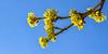 vernal (++sepp++) Tags: garten graben bayern deutschland de kornelkirsche cornusmas corneliancherry cornelcherry blüte blossom blüten blossoms blau blue gelb yellow sonnig sunny himmel sky garden vernal frühlingshaft frühling spring