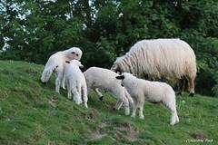 Brebis et agneaux Thônes et Marthod (Passion Animaux & Photos) Tags: brebis agneau thonesetmarthod sheep lamb parc animalier saintecroix france