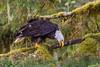 Bald Eagle, Knight Inlet Lodge, British Columbia, Canada 2017 (Fothoner) Tags: adler weiskopfseeadler bald eagle knight inlet lodge british columbia kanada