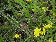 Kanarische Ringelblume - Calendula tripterocarpa - fruchtend, NGIDn1465203867 (naturgucker.de) Tags: ngidn1465203867 naturguckerde dreiflügeligeringelblume calendulatripterocarpa 1038097865 1062798284 938872571 chorstschlüter