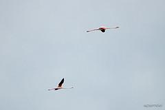 salinas-de-san-pedro-murcia-4 (psemitiel) Tags: flora fauna aves flamencos flamenco vuelo volar laguna salina san pedro pinatar murcia turismo ecologia parque ecologico naturaleza