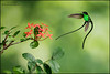 Black-billed Streamertail (Trochilus polytmus scitulus) (Glenn Bartley - www.glennbartley.com) Tags: animal animalia animals aves avian bird birdwatching birds blackbilledstreamertailtrochiluspolytmusscitulus caribbean glennbartley jamaica nature neotropical wildlife