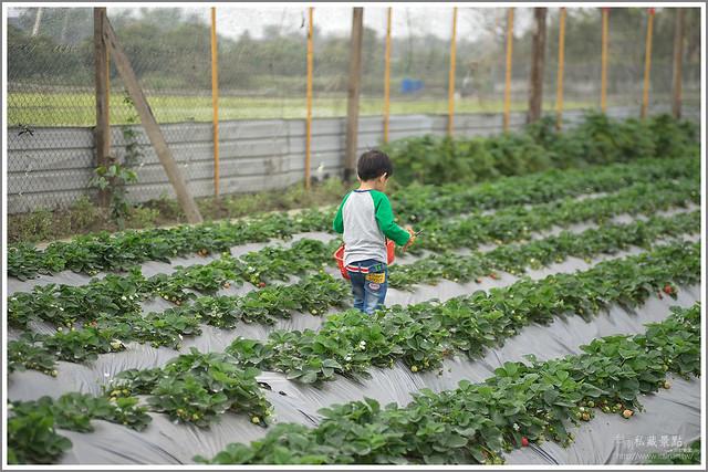 善化草莓 來去晴空農場找無農藥栽種的草莓 (5)