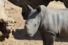 DSC_4715 (Andrew Nakamura) Tags: animal mammal rhino rhinoceros southernwhiterhino whiterhino whiterhinoceros rhinocalf sandiegozoosafaripark safaripark escondido