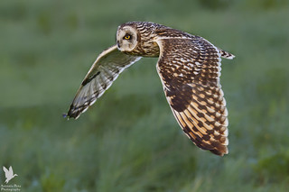 Short-eared Owl - Coruja-do-nabal