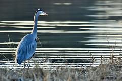Great Blue Heron (Ardea herodias) (gabicuff1) Tags: heron greatblueheron ardeaherodias