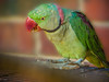 Pablo (el-liza) Tags: nature outdoor outside park fauna bird parrot alexandrine closeup colourful vibrant vivid green exotic