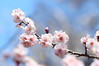 ume (* Yumi *) Tags: ume flower plum 梅 府中郷土の森