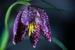 Schachbrettblume - Fritillaria meleagris (VintageLensLover) Tags: makroaufnahme makro bokeh schärfentiefe schachbrettblume frühblüher natur outdoor tonika90mm28 bokina sonya7ii bokelicious dof