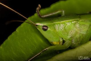 Langosta Verde   Neoconocephalus argentinus