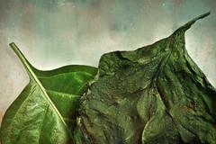 inevitable... (Uniquva) Tags: macromondays imperfection leaves green closeup
