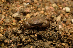 Crab (Hachimaki123) Tags: 日本 japan 厳島 itsukushima 宮島 miyajima animal crab 動物 カニ