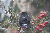 Balckbird snow and pyracantha (ArtGordon1) Tags: blackbird turdusmerula bird snow march 2018 walthamstow london england uk davegordon davidgordon daveartgordon davidagordon daveagordon artgordon1 pyracantha