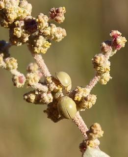 Bulaea lividula (Adulto) Primera cita de la especie en la Comunidad de Madrid