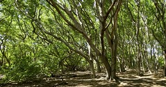 Beach forest (Michiel Pols) Tags: green forest beach contrast bark foliage sun park tree walk hike curacao travel panasonic gx80 gx85 mft micro four thirds island caribean lumix