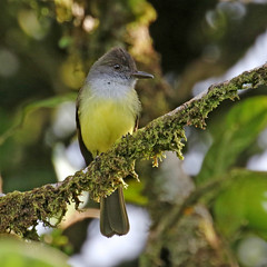 Dusky-capped Flycatcher - Myiarchus tuberculifer (Roger Wasley) Tags: duskycappedflycatcher myiarchustuberculifer wild bird tyrant flycatcher panama centralamerica neotropics neotropical