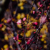 * (t*tomorrow) Tags: panasonic lumix gx8 100400mm flower 花 梅 plum