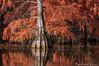 Orange amère. (Grozibou38) Tags: arbre tree paysage landscape etang cypres cyprés chauves automne automn nikond90 rhônealpes isèrelandscape isere