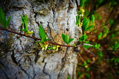 The Dearest Freshness (Colormaniac too - Many thanks for your visits!) Tags: spring foliage newfoliage newgrowth treetrunk march leaves springleaves sequim olympicpeninsula washingtonstate pacificnorthwest topazstudio netartll