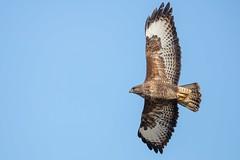 Banking Buzzard (Phil Gower Bird Photography) Tags: buzzard