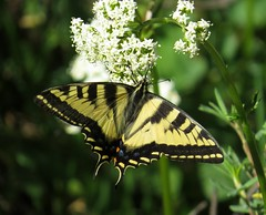 Western tiger swallowtail (Papilio rutulus) butterfly, Arapaho National Recreation Area, Colorado, June 2017 (Judith B. Gandy (on and off, off and on)) Tags: arapaho papilio swallowtails butterflies colorado insects invertebrates lepidoptera arapahonationalrecreationarea greenridgecampground papiliorutulus westerntigerswallowtail