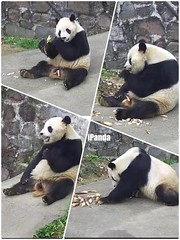 Panda Tai Shan (pattie7459) Tags: ccncby smithsonianscreenshot nationalzoo pandataishan