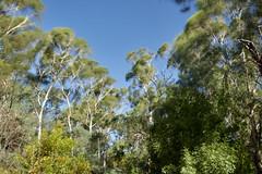 Windy afternoon at Shepherds Bush (gerryhk) Tags: shepherdsbush melbourne windy bluesky trees catchingmovement