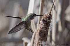 Anna's Hummingbird collecting nesting material (Gregory Lis) Tags: annashummingbird calypteanna vancouver britishcolumbia gorylis gregorylis nikond810 nikon hummingbird