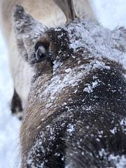 Curious reindeer (iltopomuschiato) Tags: sami freddo cold norwegian norvegia renne selvatici animali snow wild animal tromsø reindeer