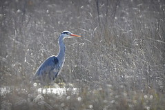 Heron in the long grass (c.marney) Tags: heron