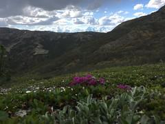 IMG_1336 (AlaskaGeo) Tags: 2017 denali scenery flowers