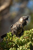 A happy Carnaby's Black Cockatoo (Calyptorhynchus latirostris) (Jan Ranson) Tags: 2018 australia carnabysblackcockatoo kingspark perth calyptorhynchuslatirostris