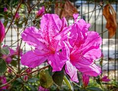 Azalea by the Fence- HFF! (Chris C. Crowley) Tags: azaleasbythefencehff azaleas flowers pinkazaleas pinkflowers sugarmillgardens garden plants nature outdoors fence portorangeflorida
