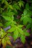 Spring Rain (HikerDude24) Tags: japanesemaple spring rain leaf foliage maple tree springtime