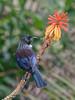 Tui (RAW edit) (Seabird NZ) Tags: newzealand catlins curiobay porpoisebay tui native bird nikond800e sigma120300mmf28 dxophotolab colours