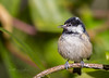 Coal Tit... (Catherine Cochrane) Tags: doonfoot sunsetbirdswaders swans ringneckplovers