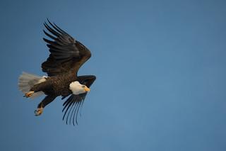 Leap of Bald Eagle